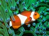 Анемоновая рыба-клоун анемоновая рыба-клоун.